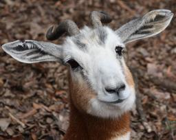 Tête de Gazelle Dama. Source : http://data.abuledu.org/URI/516c4a44-tete-de-gazelle-dama