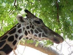 Tête de girafe. Source : http://data.abuledu.org/URI/518434c2-tete-de-girafe