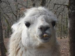 Tête de lama  blanc                      . Source : http://data.abuledu.org/URI/5570b5f1--tete-de-lama-