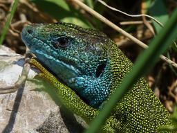 Tête de lézard vert mâle. Source : http://data.abuledu.org/URI/535cbcfc-tete-de-lezard-vert-male