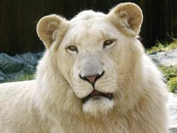 Tête de Lion blanc. Source : http://data.abuledu.org/URI/52ea74bc-tete-de-lion-blanc