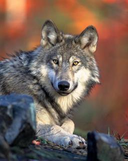 Tête de loup gris. Source : http://data.abuledu.org/URI/47f5ccb1-tete-de-loup-gris