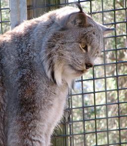 Tête de lynx. Source : http://data.abuledu.org/URI/5039435e-tete-de-lynx