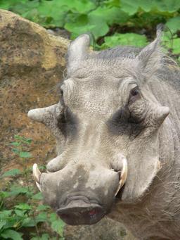 Tête de phacochère africain. Source : http://data.abuledu.org/URI/52d56611-tete-de-phacochere-africain