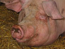 Tête de porc. Source : http://data.abuledu.org/URI/53309996-tete-de-porc