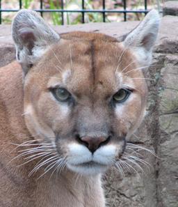 Tête de Puma. Source : http://data.abuledu.org/URI/5070a898-tete-de-puma