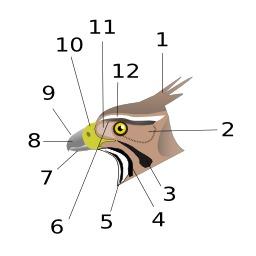 Tête de rapace. Source : http://data.abuledu.org/URI/529b4202-tete-de-rapace