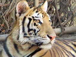 Tête de tigre. Source : http://data.abuledu.org/URI/51843483-tete-de-tigre