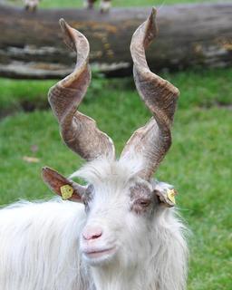 Tête et cornes de chèvre. Source : http://data.abuledu.org/URI/573cd15c-tete-et-cornes-de-chevre