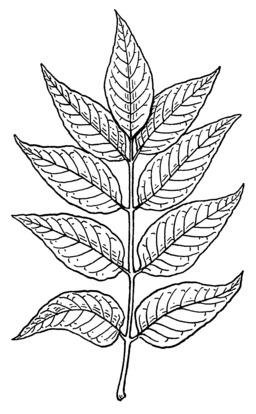 Tige de frêne avec feuilles. Source : http://data.abuledu.org/URI/53b97a30-tige-de-frene-avec-feuilles