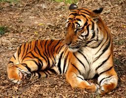 Tigre. Source : http://data.abuledu.org/URI/47f50c7a-tigre
