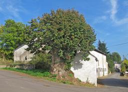 Tilleul au Luxembourg. Source : http://data.abuledu.org/URI/53145c0e-tilleul-au-luxembourg