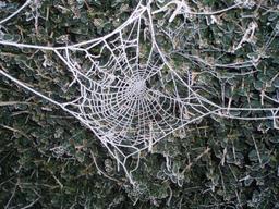 Toile d'araignée gelée. Source : http://data.abuledu.org/URI/50fdd4c5-toile-d-araignee-gelee