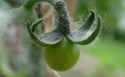 Tomate cerise 05. Source : http://data.abuledu.org/URI/518a5046-tomate-cerise-05