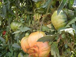 Tomates de jardin - 01. Source : http://data.abuledu.org/URI/5421b221-tomates-de-jardin-01