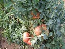 Tomates de jardin - 03. Source : http://data.abuledu.org/URI/5421b575-tomates-de-jardin-03