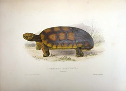 Tortue. Source : http://data.abuledu.org/URI/47f52cc9-tortue