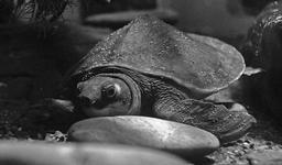 Tortue à nez de cochon d'Australie. Source : http://data.abuledu.org/URI/50e2b9a1-tortue-a-nez-de-cochon-d-australie
