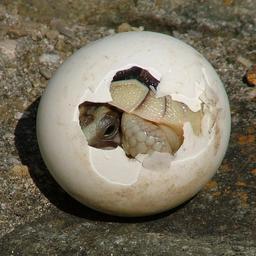 Tortue dans un oeuf. Source : http://data.abuledu.org/URI/5184b7c9-tortue-dans-un-oeuf