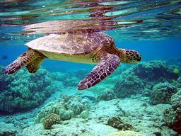 Tortue de mer. Source : http://data.abuledu.org/URI/501cffac-tortue-de-mer