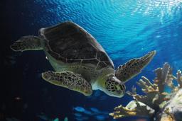 Tortue de mer. Source : http://data.abuledu.org/URI/5184bb85-tortue-de-mer