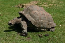 Tortue géante dans un zoo. Source : http://data.abuledu.org/URI/5187ffe1-tortue-geante-dans-un-zoo