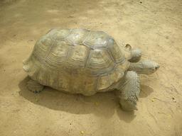 Tortue Geochelone à la Réserve de Bandia. Source : http://data.abuledu.org/URI/5486b243-tortue-geochelone-a-la-reserve-de-bandia