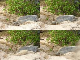 Tortue marine creusant un trou. Source : http://data.abuledu.org/URI/5184c871-tortue-marine-creusant-un-trou