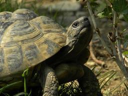 Tortue redressant la tête. Source : http://data.abuledu.org/URI/518514ee-tortue-redressant-la-tete