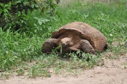 Tortue sénégalaise près de Rufisque. Source : http://data.abuledu.org/URI/5486b2c3-tortue-senegalaise-pres-de-rufisque