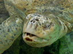 Tortue verte à La Réunion. Source : http://data.abuledu.org/URI/52d05d99-tortue-verte-a-la-reunion