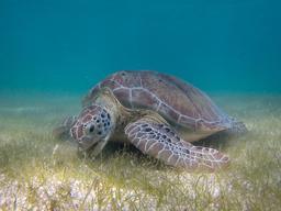 Tortue verte broutant un herbier marin. Source : http://data.abuledu.org/URI/52d061d5-tortue-verte-broutant-un-herbier-marin