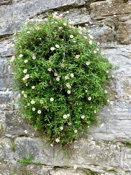 Touffe de fleurs sur le rempart longeant le Saleys. Source : http://data.abuledu.org/URI/58662253-touffe-de-fleurs-sur-le-rempart-longeant-le-saleys