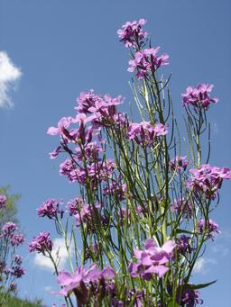 Touffe de Julienne des dames en fleurs. Source : http://data.abuledu.org/URI/506e7a66-touffe-de-julienne-des-dames-en-fleurs
