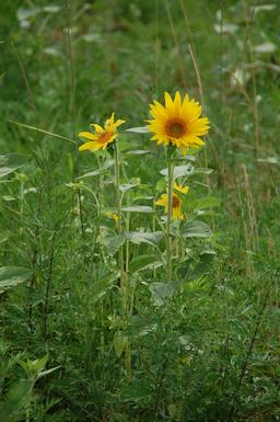 Tournesols. Source : http://data.abuledu.org/URI/59090bb0-tournesols