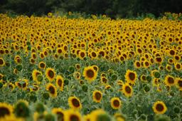 Tournesols. Source : http://data.abuledu.org/URI/59090cb4-tournesols