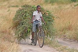 Transport de fourrage à bicyclette. Source : http://data.abuledu.org/URI/5174f8c2-transport-de-fourrage-a-bicyclette