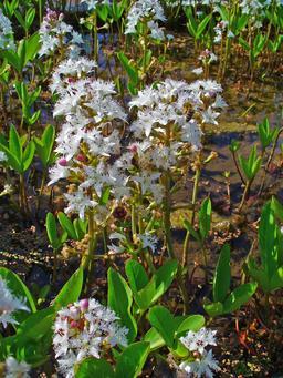 Trèfle d'eau en fleurs. Source : http://data.abuledu.org/URI/5652b47d-trefle-d-eau-en-fleurs