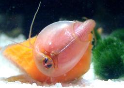 Triops longicaudatus mangeant une carotte. Source : http://data.abuledu.org/URI/56326994-triops-longicaudatus-mangeant-une-carotte