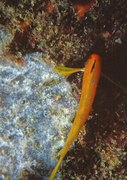Tripterygion delaisi mâle et Diplosoma spongiforme. Source : http://data.abuledu.org/URI/548db05e-tripterygion-delaisi-male-et-diplosoma-spongiforme