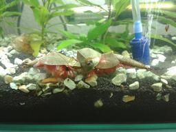 Trois diops longicaudatus en aquarium. Source : http://data.abuledu.org/URI/563264af-trois-diops-longicaudatus-en-aquarium