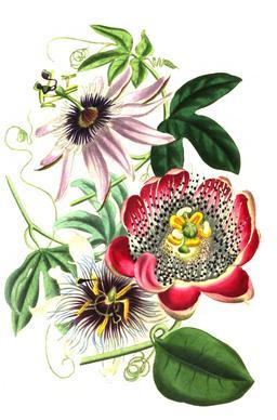 Trois fleurs de la passion en 1836. Source : http://data.abuledu.org/URI/53ed421a-trois-fleurs-de-la-passion-en-1836