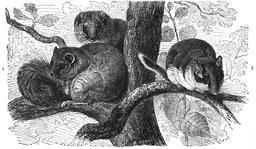 Trois loirs perchés dans un arbre. Source : http://data.abuledu.org/URI/53fdfd29-trois-loirs-perches-dans-un-arbre