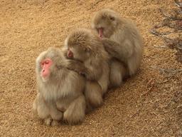 Trois macaques s'épouillant. Source : http://data.abuledu.org/URI/548b687e-trois-macaques-s-epouillant