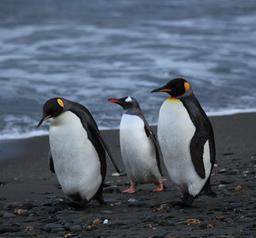 Trois manchots sur la plage. Source : http://data.abuledu.org/URI/5373a95c-trois-manchots-sur-la-plage