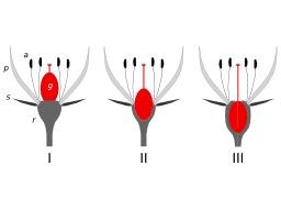 Trois positions de l'ovaire. Source : http://data.abuledu.org/URI/50df7e4a-trois-positions-de-l-ovaire