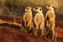 Trois suricates en Afrique du Sud. Source : http://data.abuledu.org/URI/582cbf6a-trois-suricates-en-afrique-du-sud