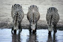 Trois zèbres assoiffés. Source : http://data.abuledu.org/URI/53601747-trois-zebres-assoiffes