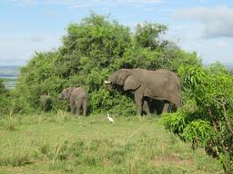 Trompe d'éléphant blessé. Source : http://data.abuledu.org/URI/5730e779-trompe-d-elephant-blesse