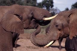 Trompes et défenses d'éléphants. Source : http://data.abuledu.org/URI/5398def8-trompes-et-defenses-d-elephants